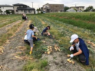 玉ねぎ収穫真っ盛り