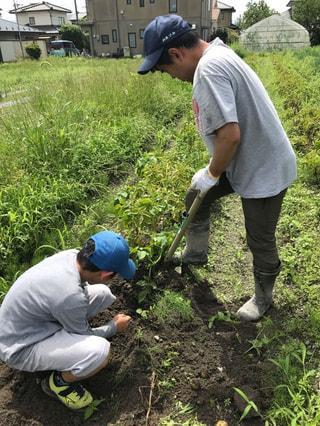 ジャガイモ収穫と梅仕事